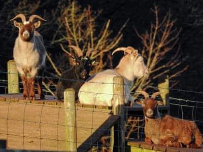 On-site animals   Nethway Farm, Kingswear