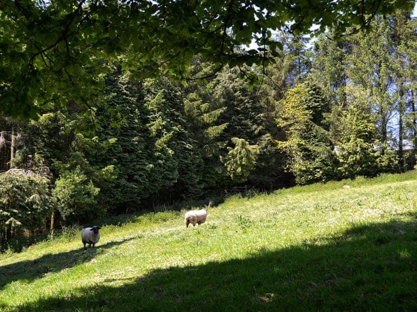 Sheep | Ash Lodge, Clatworthy