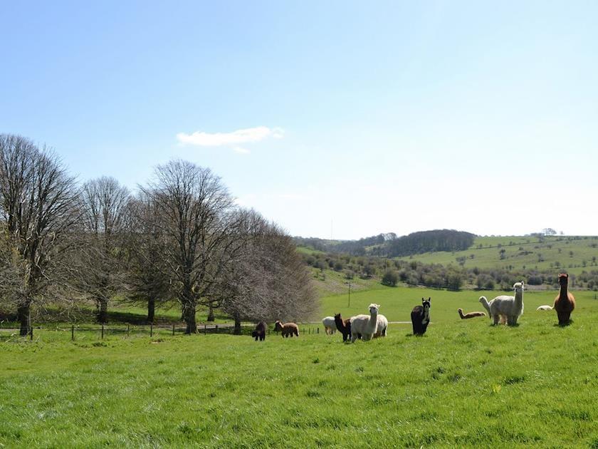 Alpacas | Wellington Farm, Nr. Wells