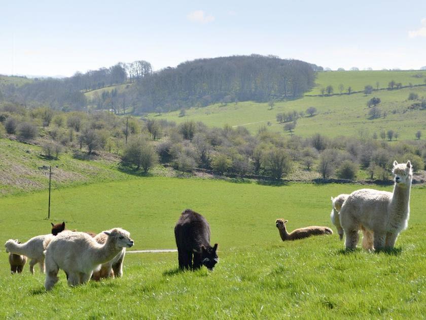 Alpacas | Wellington Farm - Nr. Wells