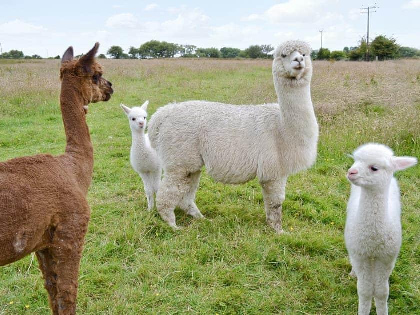 Alpacas | Cefnllaethdre - The Stables, Glynarthen, nr. Cardigan